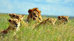 familieopstelling leeuw